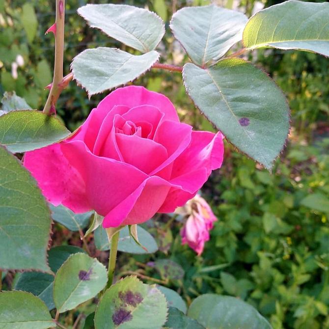gros plan d'une belle rose