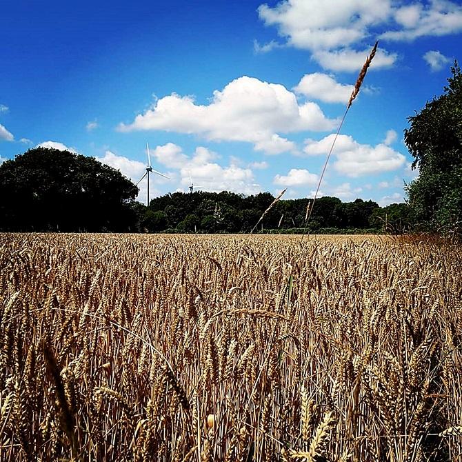 champ de blé au premier plan, ciel bleu avec nuages et éoliennes
